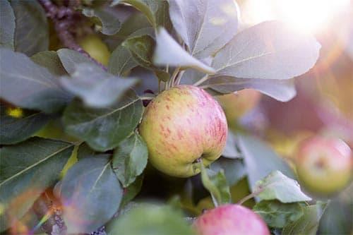apples wattkast äpple korpo